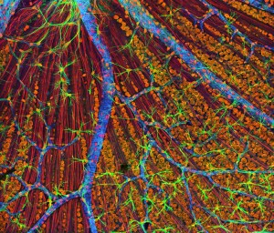 fascia cell nervous system fibre optic information network