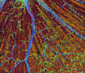 fascia cell nervous system fibre optic information network