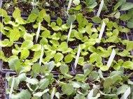 veggies-cool-season