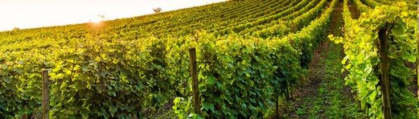 Uvas tintas y blancas internacionales