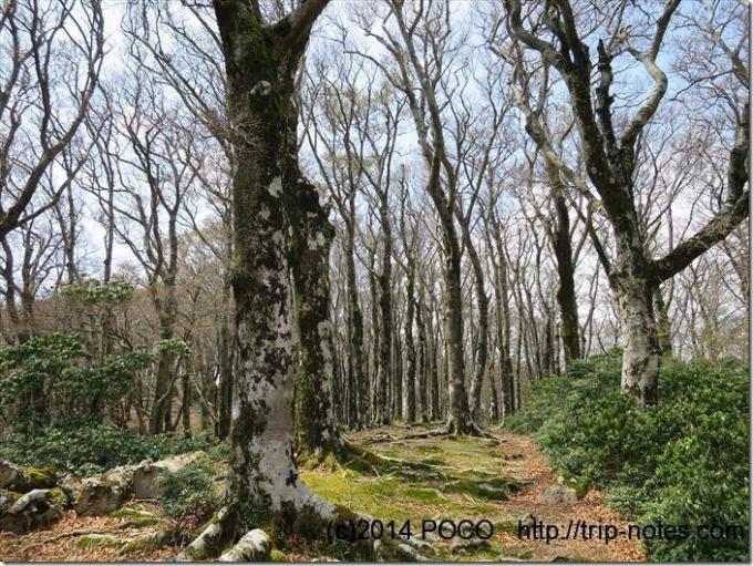 ブナの原生林