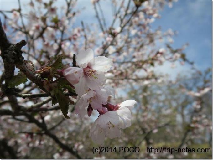 丹沢主脈線の桜