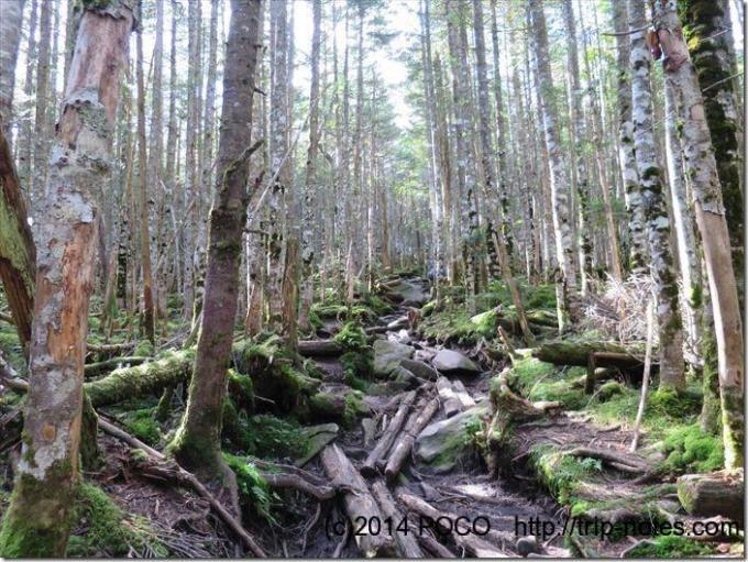 北八ヶ岳の森