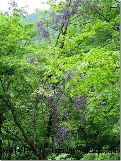 後山川林道の藤の花