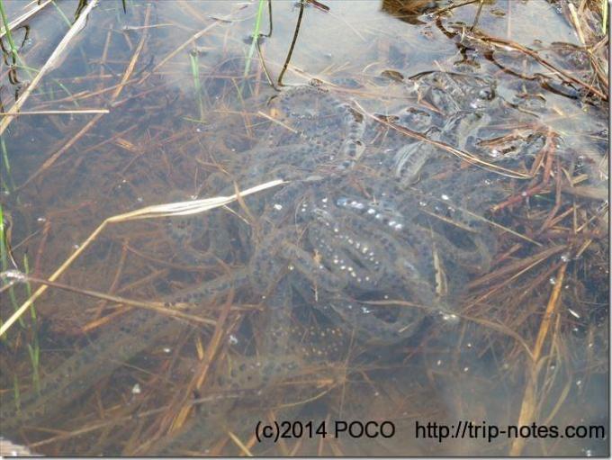 織姫の池のカエルの卵