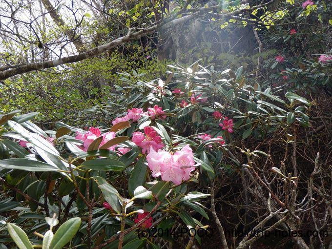 笠取山のシャクナゲ