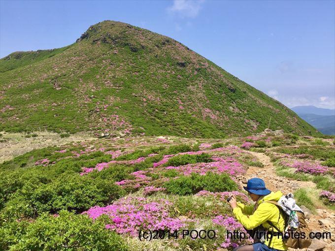 中岳周辺のミヤマキリシマ