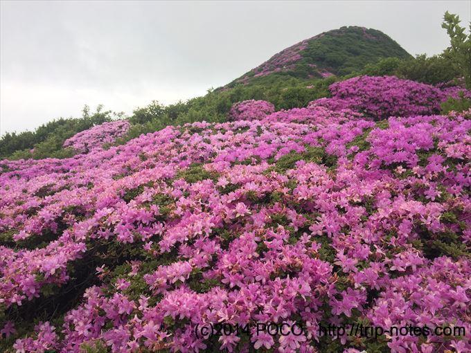 稲星山周辺のミヤマキリシマ