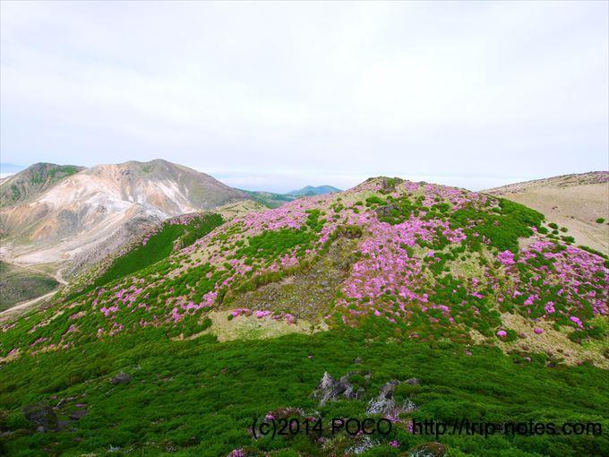 三俣山のミヤマキリシマ