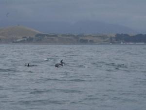 Hector delfiner