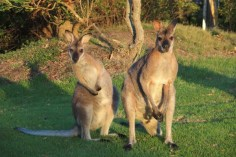 des wallabies dans le jardin du voisin à Potato Point, New South Wales