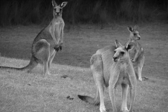 les kangourous à qui on pouvait dire bonjour tous les jours à Potato Point