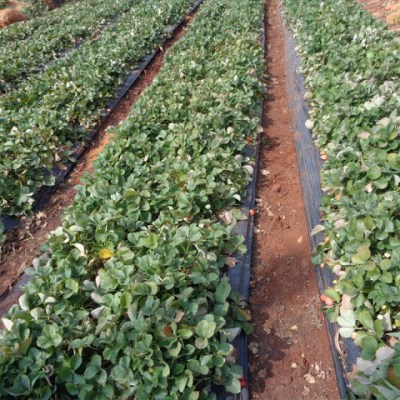 Rows of strawberry plants