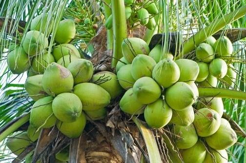 Kebun kelapa Pak Doni dibuat berjajar dengan teratur. Terdapat 76 baris, setiap baris ditanami 179 batang. Berapakah banyak pohon di kebun itu?
