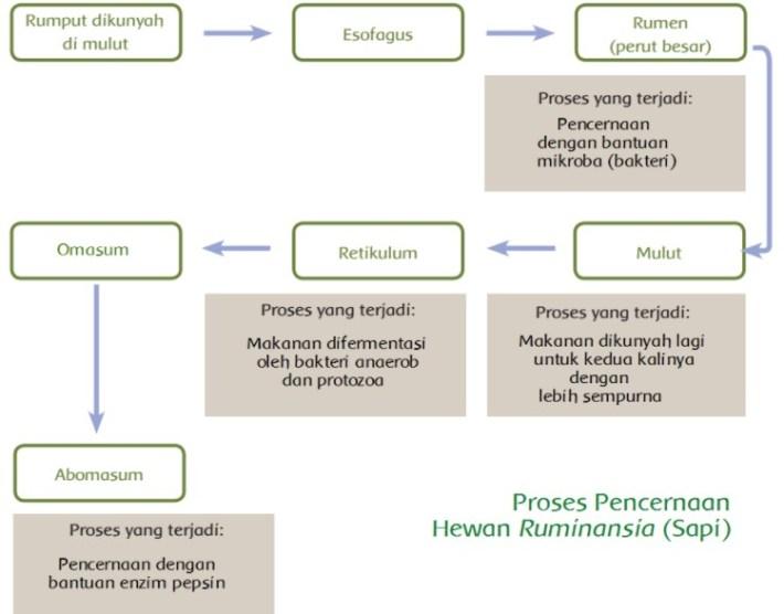 diagram pencernaan pada sapi