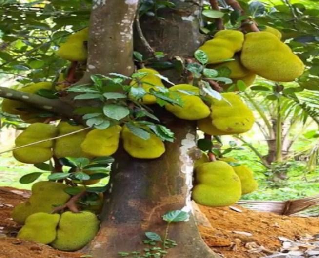 Sebutkan buah langka yang ada di Kebun Raya Bogor!