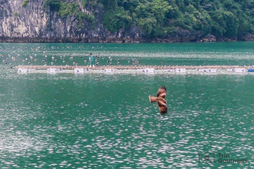 Halong bay cruise review bird man oyster pearl farm