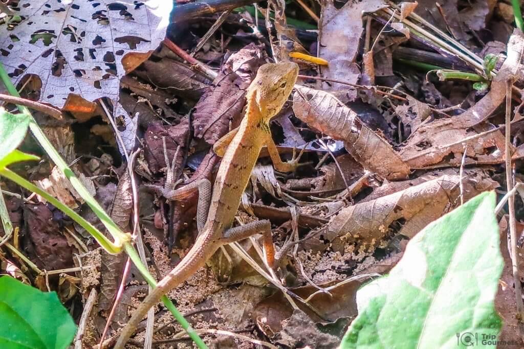 Things to do in Kampot cambodia Lizard