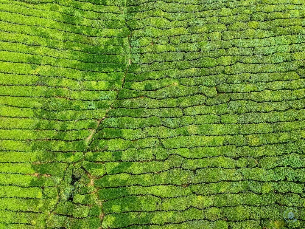 Things to do in Ipoh - Cameron Highlands Tea fields drone
