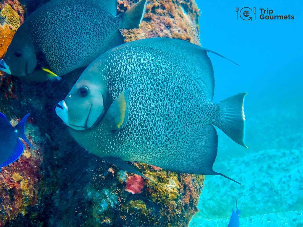 Best cameras for diving - Adult Gray Angel Fish
