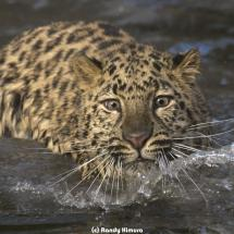 Amur Leopard Swimming