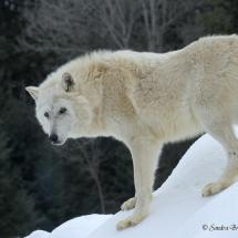 Arctic Wolf ~ TripleD