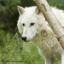 Arctic Wolf _ TripleD