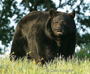 A Big Adult Male Black Bear