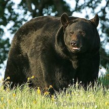 A Big Adult Male Black Bear