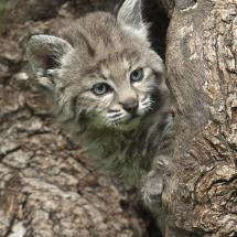 Bobcat Baby Hiding