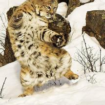 Bobcat Playing Snow