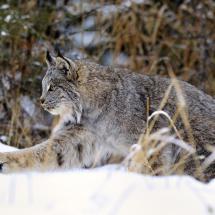 Canadian Lynx TripleD