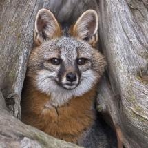 Grey Fox - Tripled