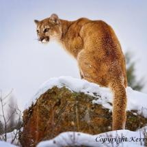 Mountain Lion Perching
