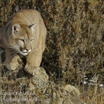 Mountain Lion Pouncing