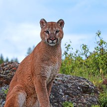Mountain Lion Staring