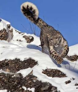 Amur Leopards Winter -Shayne McGuire