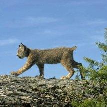 Siberian Lynx Baby