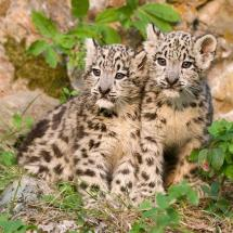Snow Leopard Kittens