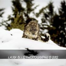 Snow Leopard Kittten TripleD