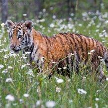 Siberian Tiger Kitten
