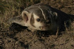 Adult Badger - TripleD Wildlife