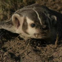 Adult Badger - TripleD Wildlife
