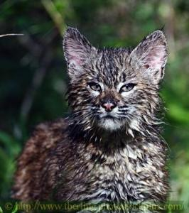 Soaked Bobcat Kitten