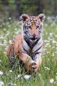 Siberian Tiger Kitten at Play