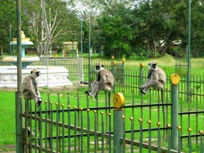Monkeys on a Fence - Anuradhapura