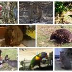 実際に遭遇!!可愛すぎるオーストラリアの野生動物ベスト10とオススメの動物園の画像
