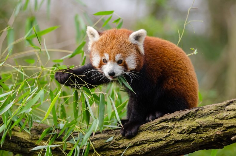 Buffet Time, Red Panda, Darjeeling
