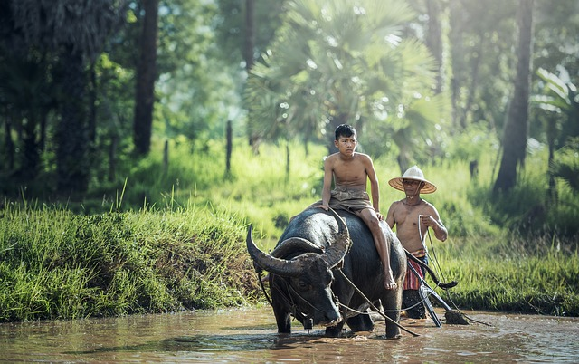 Farming with water buffalo, Cambodia