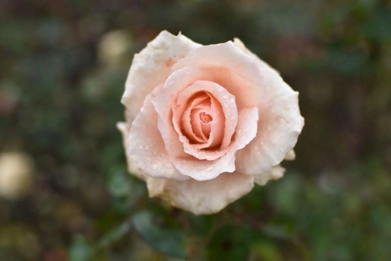 Rose Garden Ooty 20